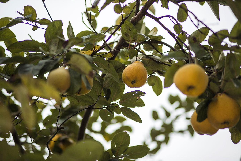 Früchte im Garten